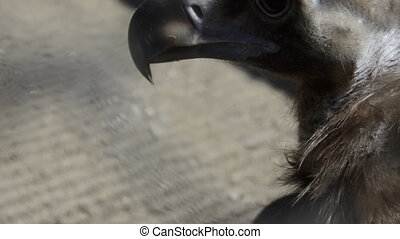 head black vulture