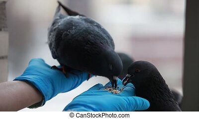 tame birds - pigeons pecking at seeds from hands