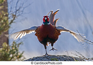 The Cock Pheasant in action - The beautiful colored male...