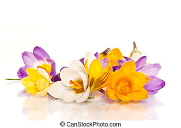 crocuses - beautiful spring crocus on a white background