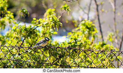 Tomtit on a fence - Small tomtit sitting on a grid fence