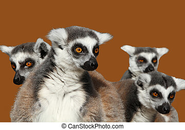 Ring-tailed lemurs isolated