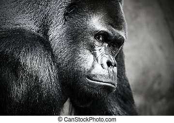 A Goriila - A gorilla at the zoo