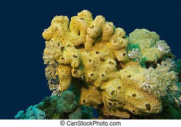 esponja, grande, arrecife, fondo, coral, amarillo, tropical,...