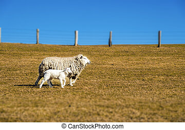 Sheep with lamb on a sunny day in spring
