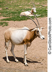 SCIMITAR-HORNED ORYX Oryx dammah Status; extinct in the wild...