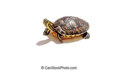 Turtle isolated on white background.