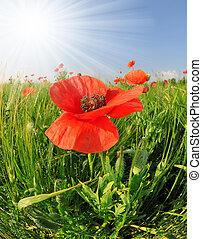 Red poppy in wheat fields
