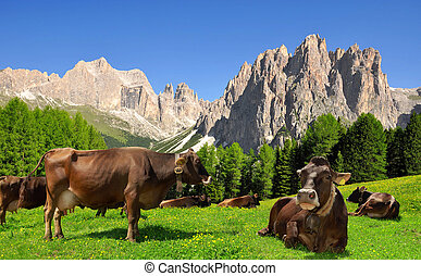 Cow in the meadow.In the background of the Rosengarten -...