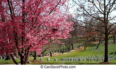 Arlington Cemetery Cherry Tilt - Arlington National Cemetery...