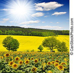 Sunflower field with sunny sky