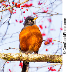 Red Breasted American Robin with Red Berries - American...