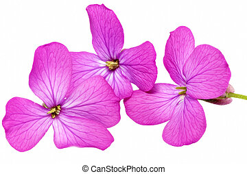 Three violet flowers.Closeup on white background. Isolated ....