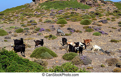 wild goats graze in the mountains of the island of Crete