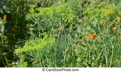 dill plant rural garden - closeup of natural dill fennel...