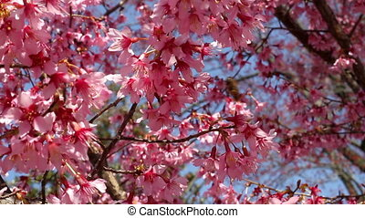 Washington DC cherry blossom Bees - Washington DC cherry...