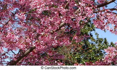Washington DC cherry blossom two - Washington DC cherry...