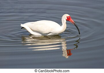 White Ibis Eudocimus albus in the Florida Everglades