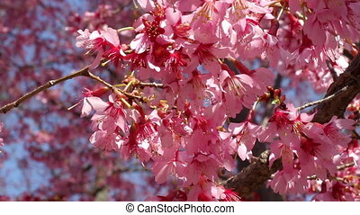 Washington DC Cherry Blossom Shot during the Cherry Blossom...