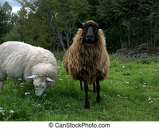 Sheep with lamb - Two sheeps on a meadow