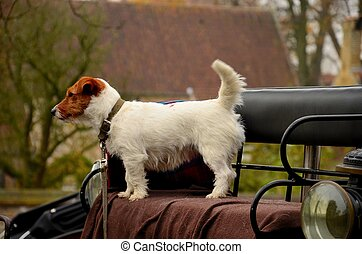 Cute dog on carriage seat - A small brown and white dog...