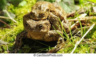 Common toad with partner on back
