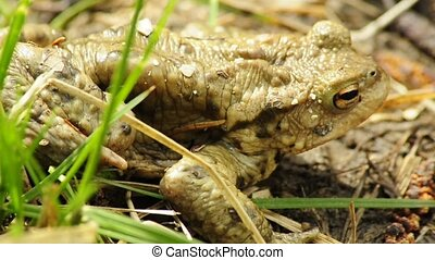 Common toad on a meadow