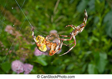 Flirtation of spiders 13 - A close up of the two spiders,...