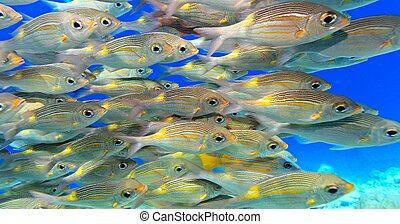 School of fish inThe Indian Ocean