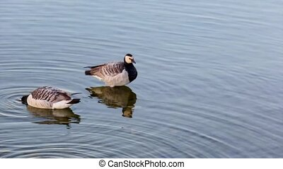 Ducks - Lake Geneva waterfowl