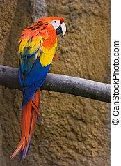 vermelho, amarela, azul, Papagaio