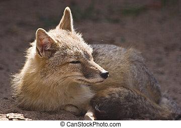 Female swift fox resting in the sunshine
