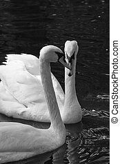 Two swans on a sunny day in black and white