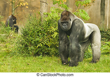 Silverback gorilla - Leader Silverback gorilla watching his...