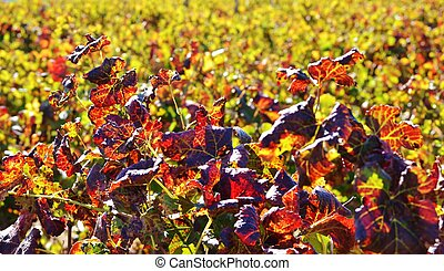 Colors of Autum - Close up of colorful wine leafs in autum...