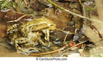 Common toad during reproduction