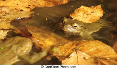 Common toad  - Common toads in love in a pond