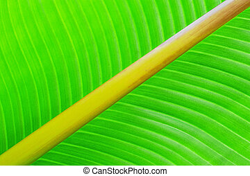 Green texture of banana leaf. Nature background