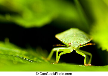 Green shield bug Palomena prasina - Green shield bug between...