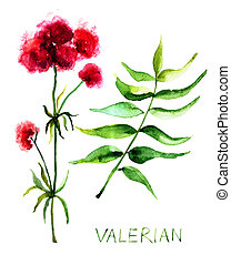 Valerian herb, watercolor illustration