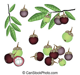 Set of Fresh Purple and Green Mangosteens - Fresh Fruits, An...