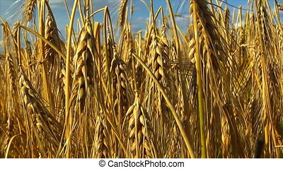 wheat rye corn field background