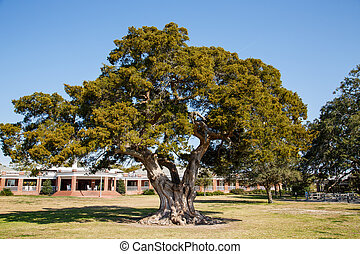 Ancient Live Oak Tree in Park - An old live oak tree in a...