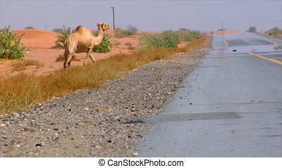 camel walk over street