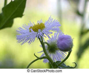 Aster Flowers - Closeup of tiny Aster Flower in a Field in...