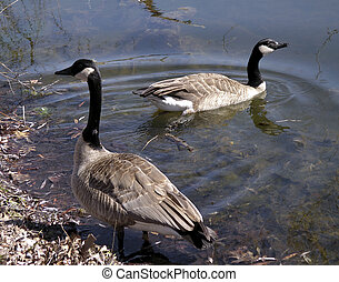 Canada Geese - A pair of Canada Geese in a pond in the...