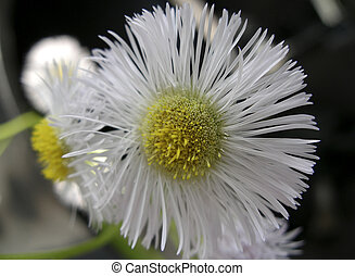 Tiny Aster Flowers - Closeup of Aster Flower which actuality...