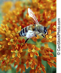 Honey Bee on Flowers - Closeup image of bee on flower...