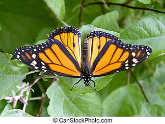 Monarch Butterfly - Closeup image of Monarch Butterfly...