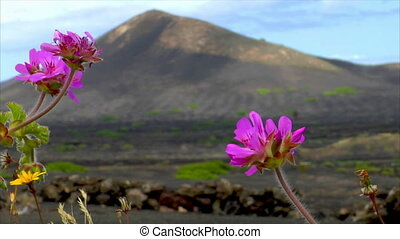 flowers on volcanic wine growing region